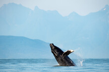 Mesmerizing View Of Humpback Whale Breach Jumping In The Air