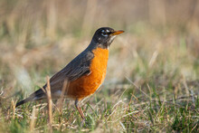 Closeup Shot Of A Beautiful American Robin On The Land On A Blurred Background