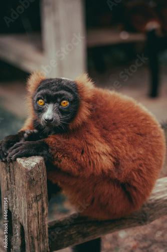 Fototapeta premium wild monkey