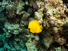 Exotic Butterflyfish In Its Natural Habitat