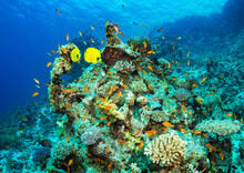Closeup Of Butterflyfish And Other Fish Swimming In A Coral Garden