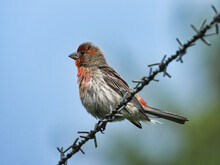 House Finch On Barbed Wire: A Male House Finch Bird Perched Perfectly On A Barbed Wire Fence On A Clear Summer Day