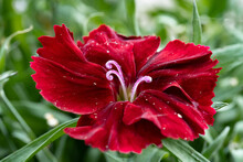 Red Flower With Drops
