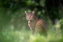 Tabby Cat Sitting On Green Grass Outdoors Making Funny Face Looking At Camera