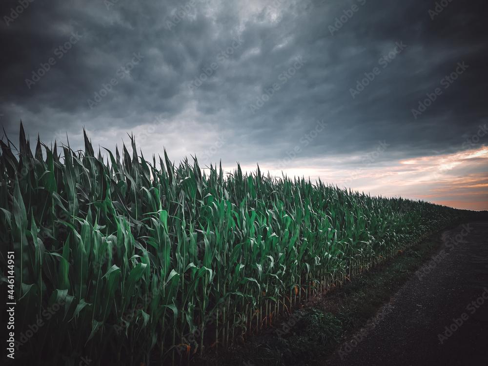 Widok na pole kukurydzy,  zachmurzone niebo, przed burzą, krajobraz wiejski, natura