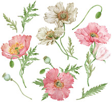 Watercolor Hand-drawn Set Of Iceland Pink And White Poppies And Green Leaves. Beautiful Flowers