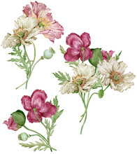 Watercolor Poppies Bouquets With White, Crimson And Pink Flowers Isolated On The White Background.