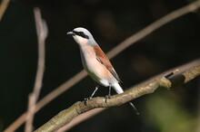 Lanius Small Singer Bird In Wildlife.