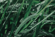 Fresh Green Grass With Dew Drops Close Up. Water Driops On The Fresh Grass After Rain. Light Morning Dew On The Grass.