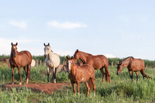 Group Of Mangalarga Marchador Horses And Mares Loose In The Green Pasture. Mares And Foals On The Farm Loose.