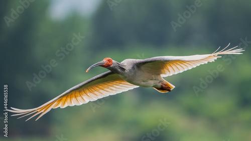 Fototapeta premium Crested Ibis flying past