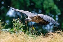 Vulture Flying Low Meadow