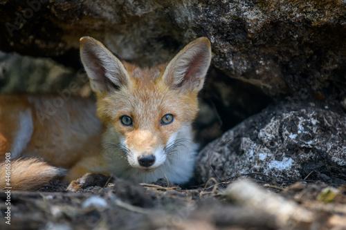 Fototapeta premium Red fox, vulpes vulpes in forest. Close wild predators in natural environment