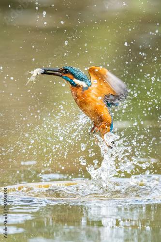 Fototapeta premium Kingfisher catching a fish