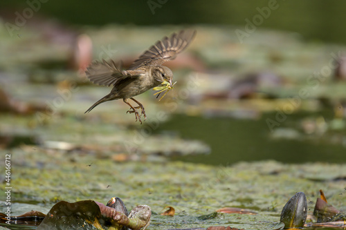 Fototapeta premium Sparrow landing with insects in mouth