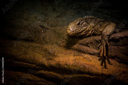 a large lizard like an iguana is resting Fototapeta