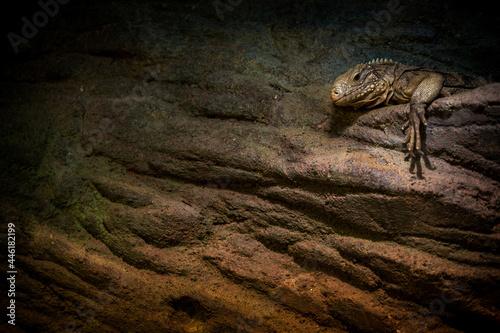 Fotografija a large lizard like an iguana is resting