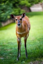 Marsh Antelope In The Grass Of Sitatunga