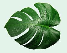 水滴のついたモンステラの葉