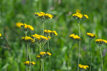 Flowers Of Tansy Close Up On A Meadow