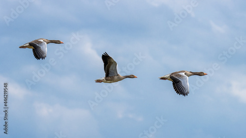 A small flock of Greylag Geese in flight