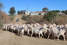 Flock Of Shorn Angora Goats, South Africa