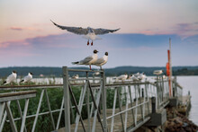 Seagulls Sitting On Railing Of Wooden Pier Of Ladoga Lake. Region Of Karelia, Sortavala, Russia