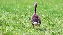 Cute Brown Duck Walking In A Field