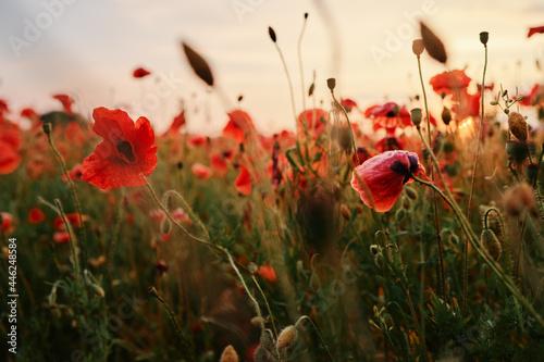 Fototapeta Beautiful summer day. Red poppy field.