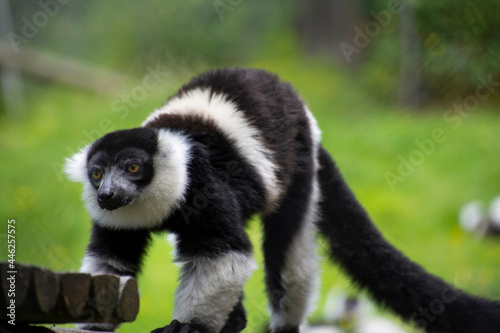 Fototapeta premium Closeup of a curious Ring-tailed lemur.