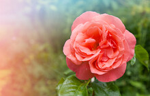 Pink Rose. Natural Background. Blooming Flower.