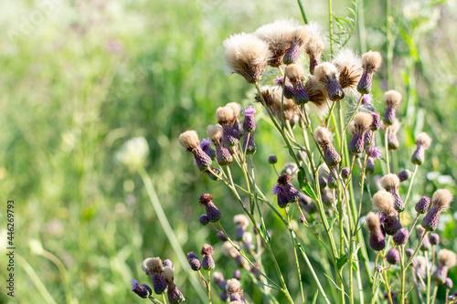 Obraz na plátně Corn thistle. Sow thistle Bodyak field. Weed.