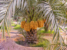 Date Palms With Bunches Of Dates