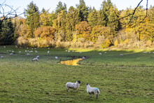 Autumn In The Cotswolds - Sheep Grazing Beside The River Coln Near Cassey Compton, Gloucestershire UK