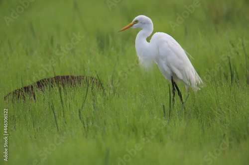 Fototapeta premium white heron