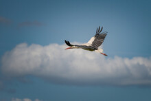 The Stork Soars Beautifully In The Sky Against The Backdrop Of Clouds.