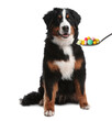 Adorable Bernese Mountain dog and spoon full of different pills on white background. Vitamins for animal