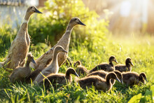 Two Ducks And A Flock Of Ducklings
