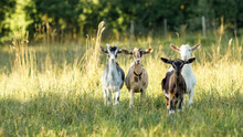 Four, Brown, Beige, White And Gray Goats Stand In A Summer Meadow With Long Bends And Look At Us