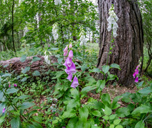 A Wide Angle Fisheye View Of Purple And White Foxgloves Growing Wild In The Woodland