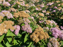 Small Purple With Pink Flowering Delicate Bushes Of Japanese Spirea Flowers Beautiful Fluffy Unusual Exotic Plants. The Background
