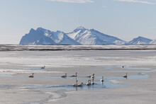 Flock Of Wild Swans In Frosty Natural Environment
