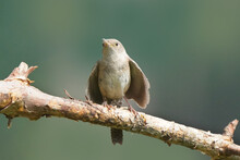 House Wren Parents Bringing Multiple Insects Back To Chicks Inside Nesting Box On Bright Summer Day. Both Parents Working Constantly To Feed Babies