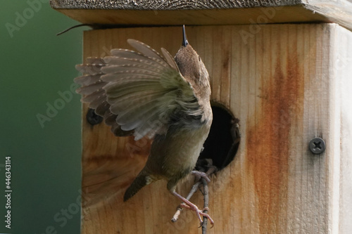 Fototapeta premium House Wren parents bringing multiple insects back to chicks inside nesting box on bright summer day. Both parents working constantly to feed babies