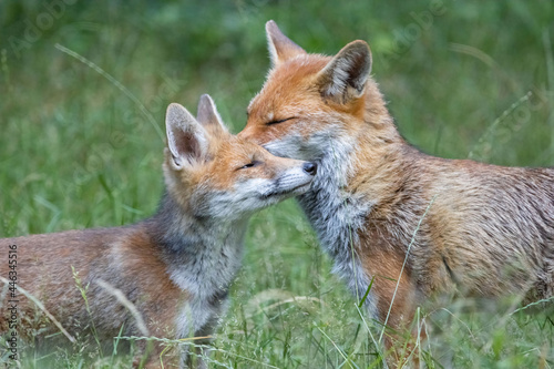 Mother fox and cub