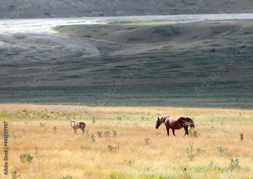Murais de parede horses in the wild with mum controlling her foal in the immense boundless prairi