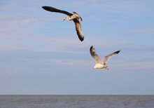 Pair Of Male And Female Seagulls Flying High In The Blue Sky