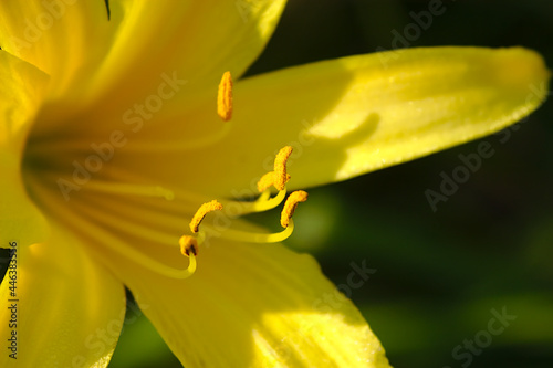 Fotografie, Obraz yellow lily flower on a sunny summer morning