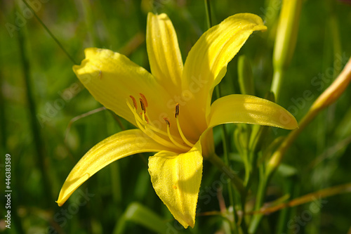 Obraz na plátně yellow lily flower on a sunny summer morning
