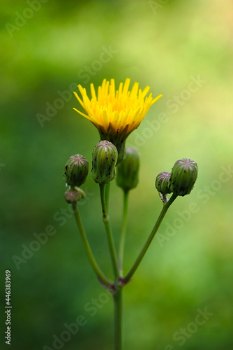 Obraz na plátně inflorescence with a yellow flower on a summer morning